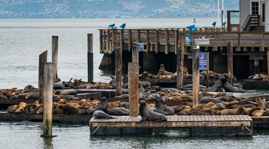 Pier 39 sea lions in San Francisco California